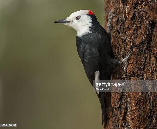 White-headed Woodpecker on tree bark