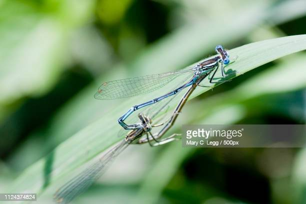 White-Legged Damselfly, Platycnemis Pennipes Mating