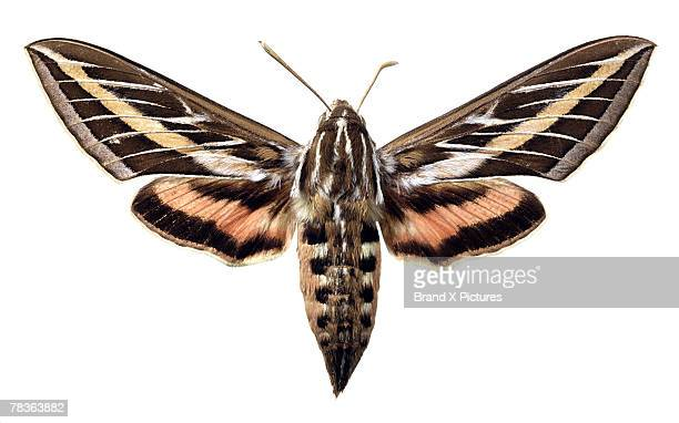 white-lined sphinx moth - papillon de nuit photos et images de collection