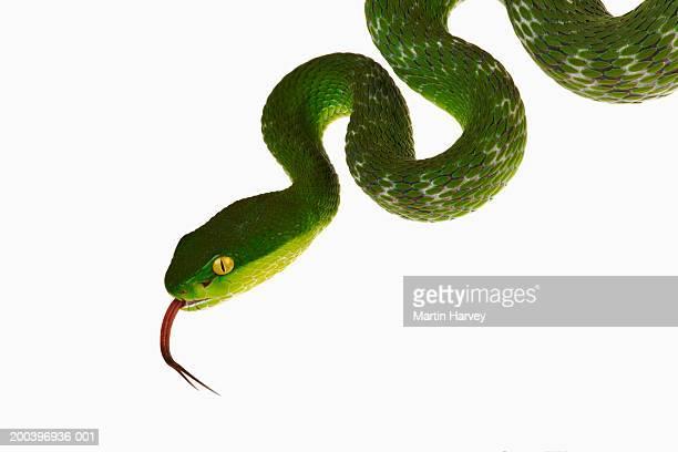 White-lipped green pit viper (Trimeresurus albolabris)