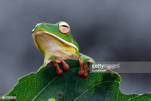 White-lipped tree frog on a leaf
