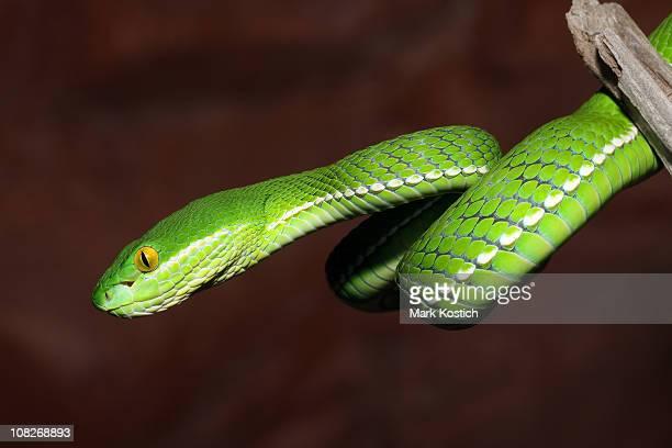 Blanco-Con reborde árbol serpiente de jóvenes con Viper
