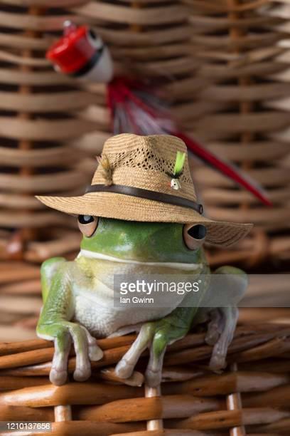white-lipped treefrog in fish basket - ian gwinn fotografías e imágenes de stock