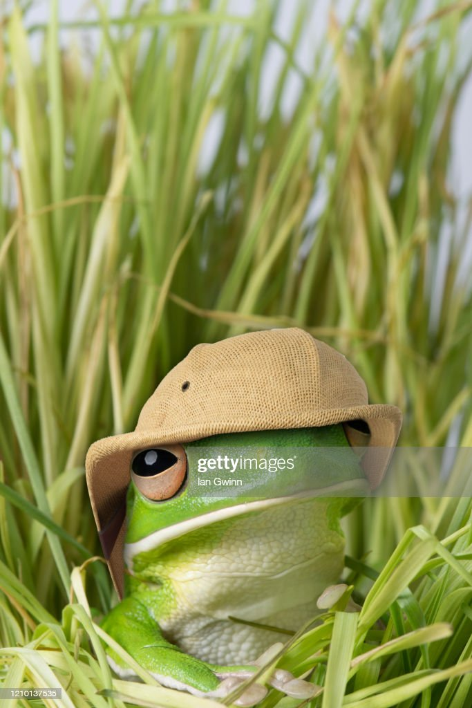 White-Lipped Treefrog in Pith Helmet : Stock Photo