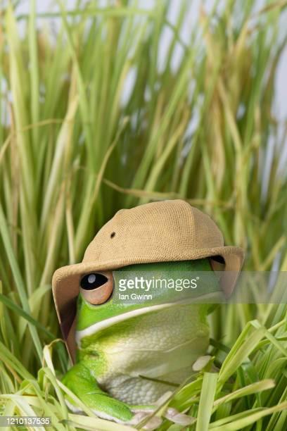 white-lipped treefrog in pith helmet - ian gwinn fotografías e imágenes de stock