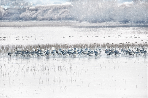 White-naped Cranes on Snowy Day - gettyimageskorea