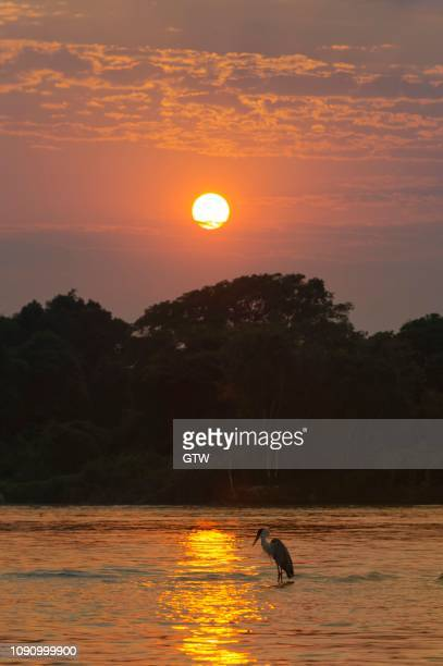 white-necked heron or cocoi heron (ardea cocoi) on the cuiaba river at sunrise, pantanal, mato grosso, brazil - {{asset.href}} stock pictures, royalty-free photos & images