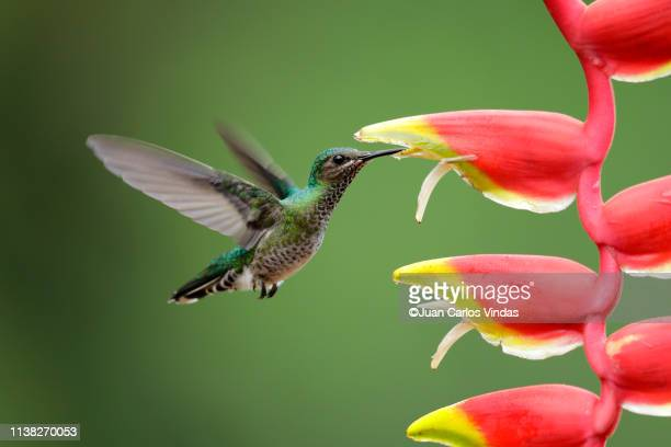white-necked jacobin - tropical flower stock photos and pictures