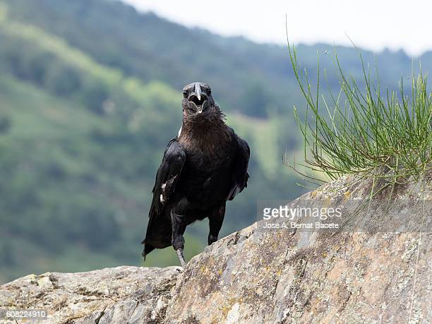 White-necked Raven (Corvus albicollis), perched on a rock in the mountains, Pyrenees, France.