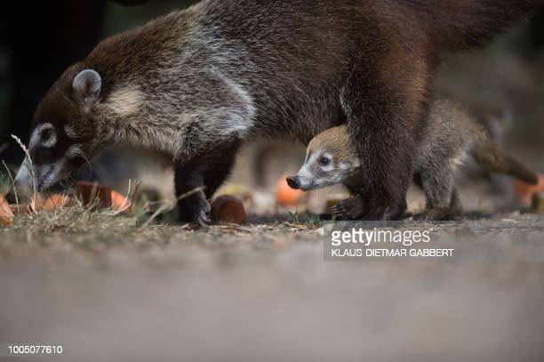 A whitenosed coati baby stands next to its mother in their enclosure at the zoo in Magdeburg eastern Germany on July 25 2018 Five whitenosed coati...