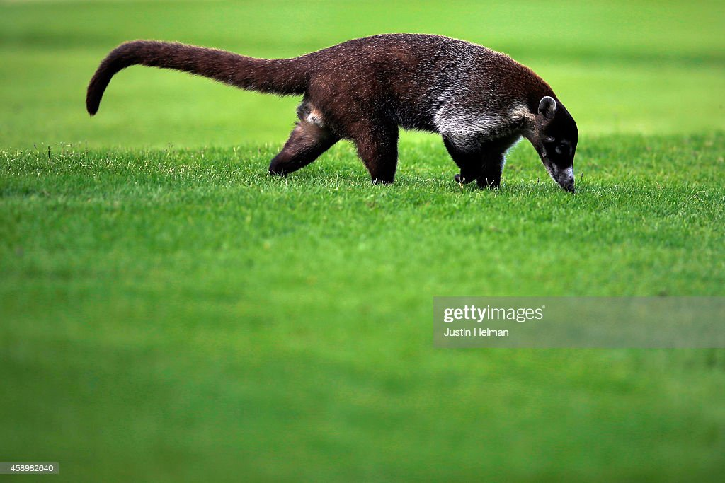 A White-nosed Coati crosses the fairway on the 7th hole during the second round of the OHL Classic at Mayakoba on November 14, 2014 in Playa del Carmen, Mexico.