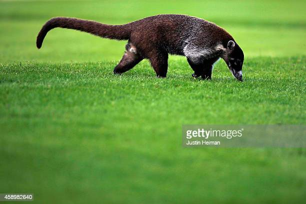 Whitenosed Coati crosses the fairway on the 7th hole during the second round of the OHL Classic at Mayakoba on November 14 2014 in Playa del Carmen...