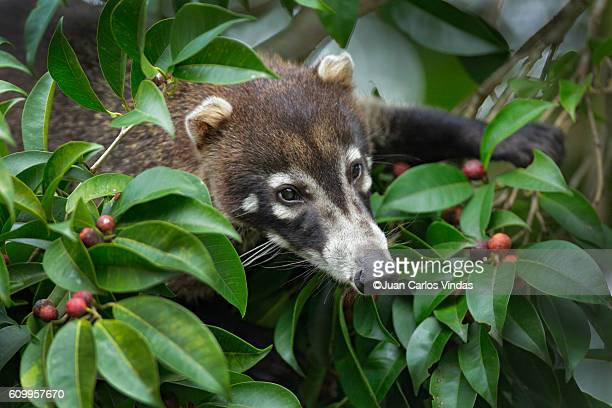 white-nosed coati (nasua narica) foraging - coati stock pictures, royalty-free photos & images