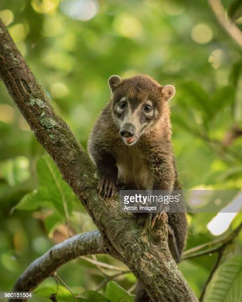 white-nosed coati, looking at the camera, maquenque wildlife refuge, costa rica - coati stock pictures, royalty-free photos & images