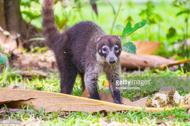 White-nosed Coati (Nasua narica) looking at the camera