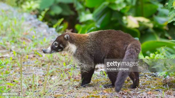 White-nosed Coati (Nasua narica) looking for food
