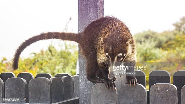 white-nosed coati (nasua narica) - tamandua anteater stock pictures, royalty-free photos & images