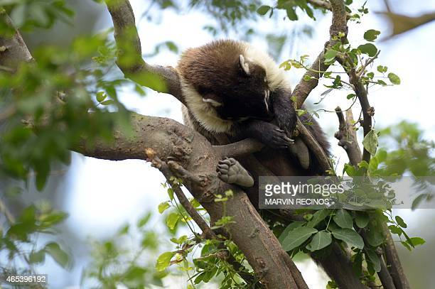 A whitenosed coati sleeps on a tree at Salvador's National Zoo on March 6 2015 AFP PHOTO / Marvin RECINOS