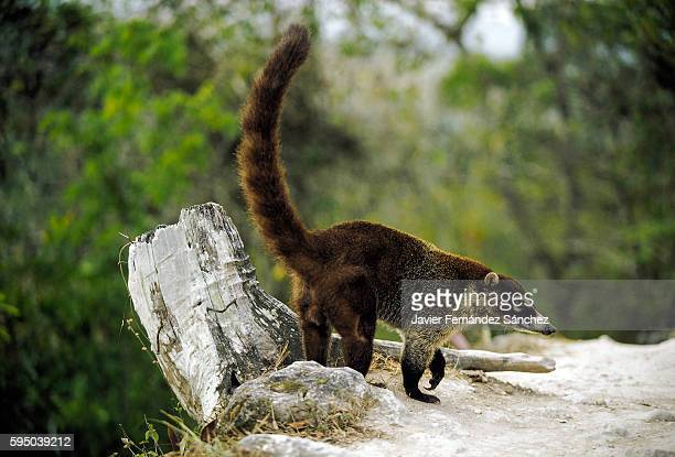 A white-nosed coatimundi (nasua narica) across a path in the jungle surrounding the ancient Mayan city of Tikal in Guatemala. Coati.