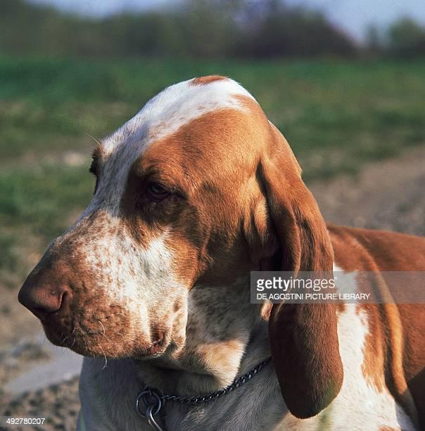 Whiteorange Bracco Italiano Canidae