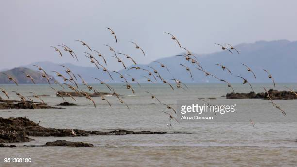 white-rumped sandpiper flock - calidris fuscicollis - alma danison - fotografias e filmes do acervo