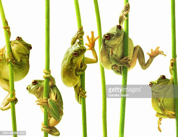 whites tree frogs climbing plant stems, close-up (digital composite) - tree frog stock pictures, royalty-free photos & images