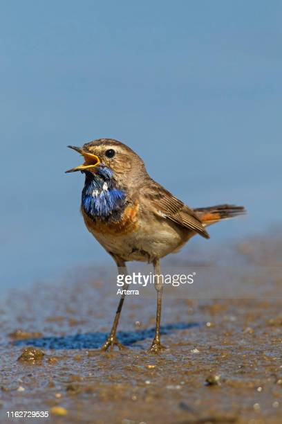 Whitespotted bluethroat male calling on the ground at lake bank in wetland in spring