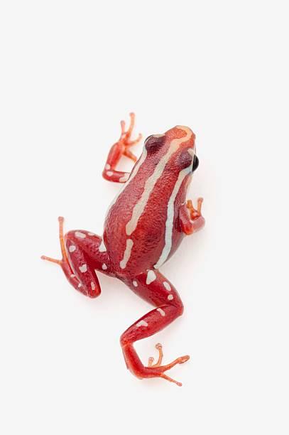 white-striped poison dart frog (epipedobates anthonyi)