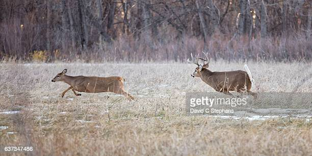 white-tail buck chases doe - white tail buck stock photos and pictures