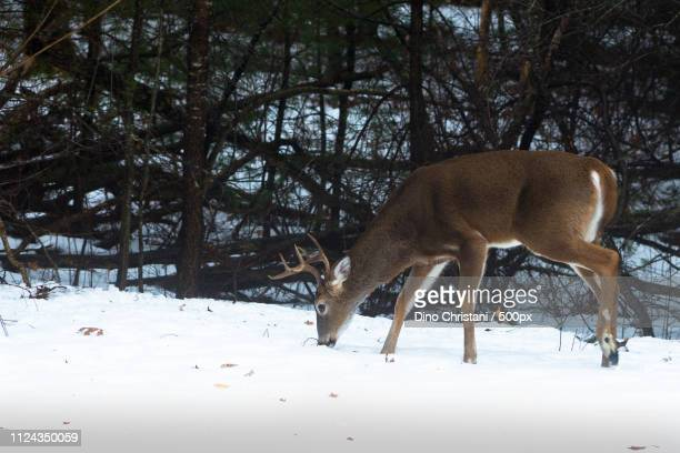 whitetail buck in snow - white tail buck stock photos and pictures