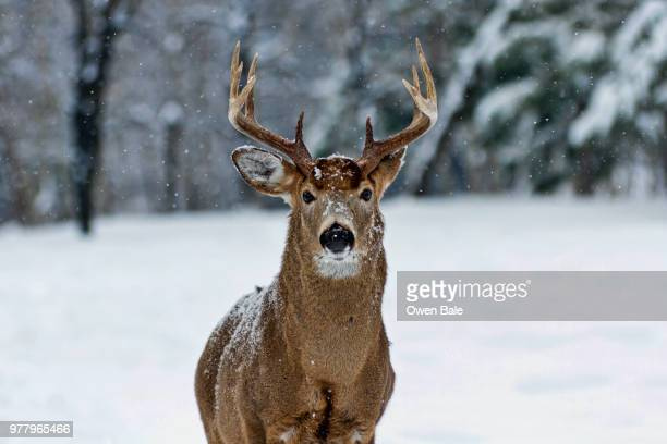 white-tail buck in snowfall - white tail buck stock photos and pictures