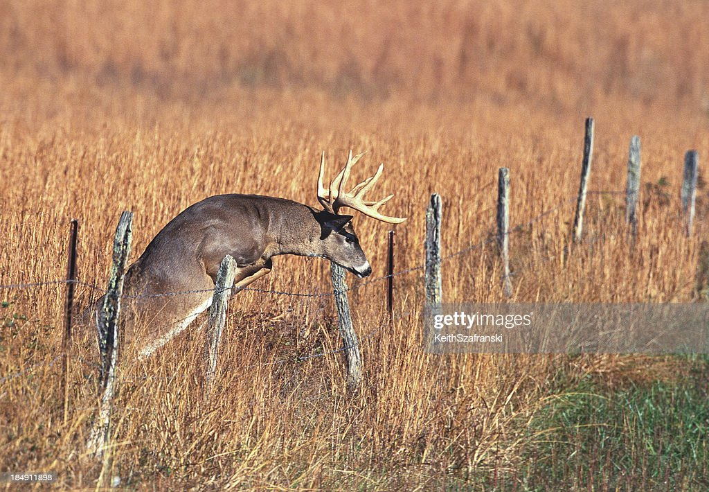Whitetail Buck Jumping Fence : Stock Photo