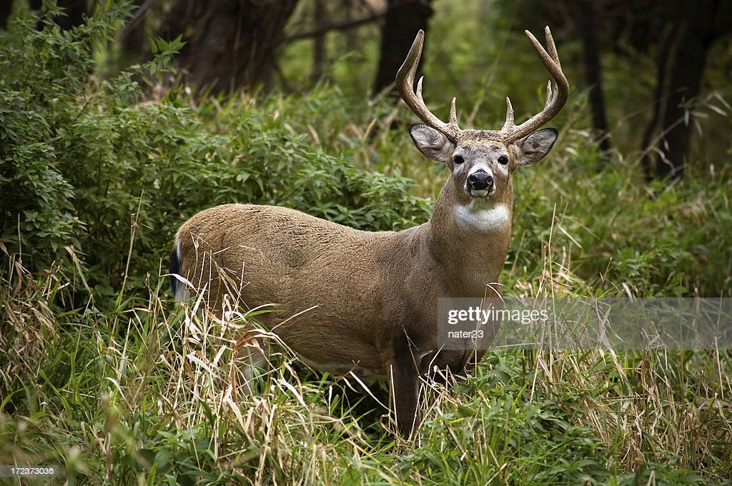 Dólar de Whitetail : Foto de stock