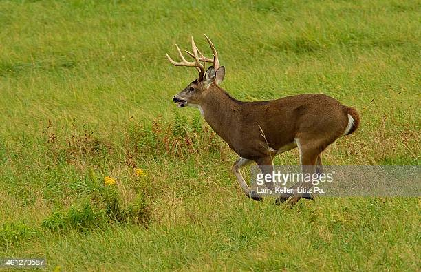 whitetail buck running - white tail deer stock photos and pictures