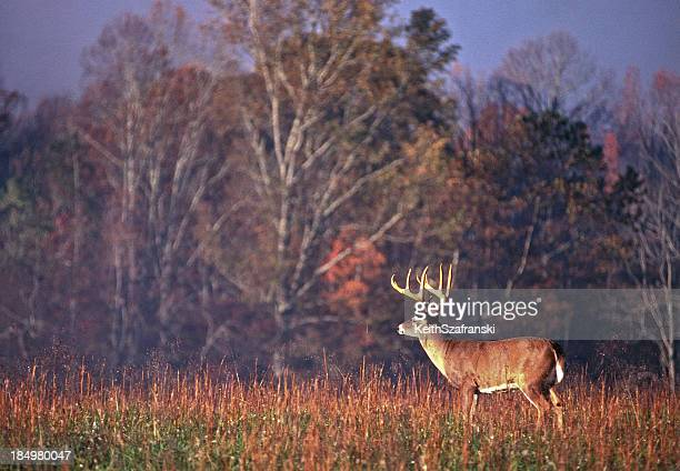 Whitetail Buck Scanning Field