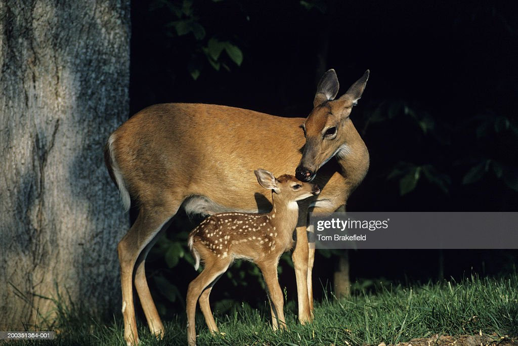 Whitetail deer doe and fawn : Stock Photo