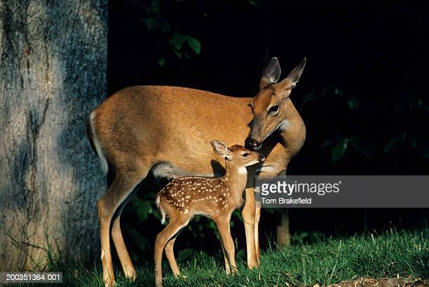 whitetail deer doe and fawn - biche photos et images de collection