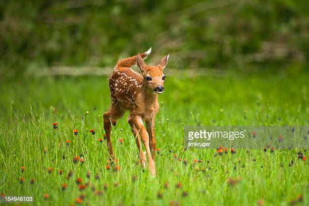 whitetail deer fawn in field of indian paintbrush flowers. - fawn stock photos and pictures