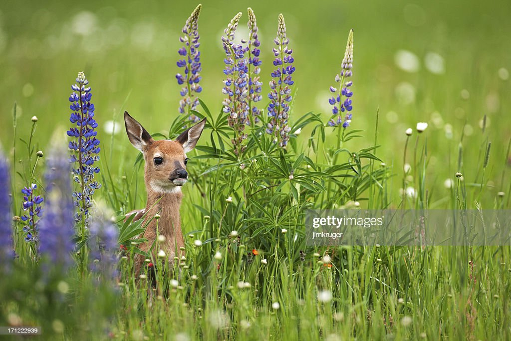 Whitetail deer fawn in spring flowers. : Stock Photo