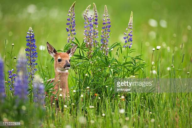 whitetail deer fawn in spring flowers. - fawn stock photos and pictures