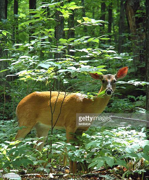 white-tail deer in a forest - white tail buck stock photos and pictures