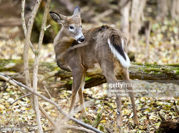 Whitetail deer looks for food in the woods in the Wyomissing Parklands Thursday afternoon November 19, 2020.