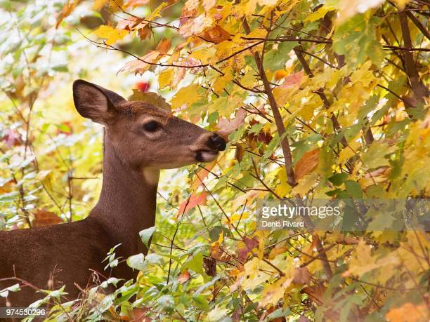 white-tail deer - white tail buck stock photos and pictures