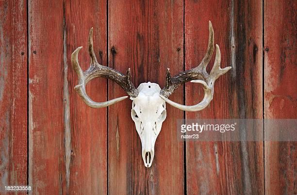 whitetail deer rack on barnwood