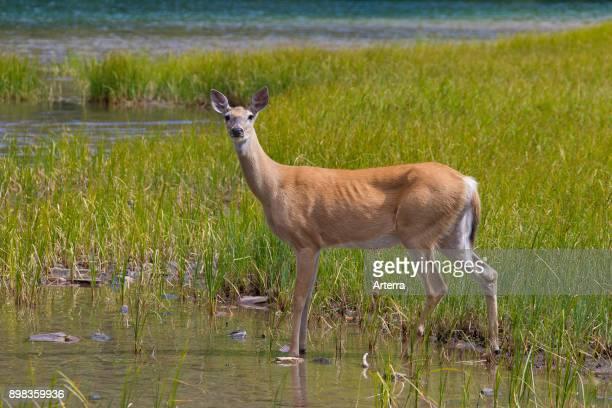 Whitetail deer / whitetailed deer female / doe at lake shore Canada