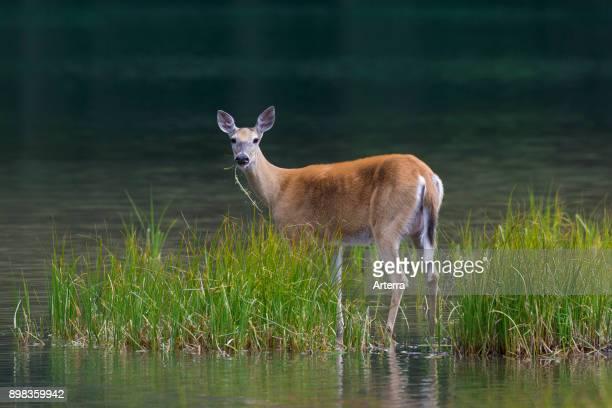 Whitetail deer / whitetailed deer female / doe eating water plants / aquatic plant in lake