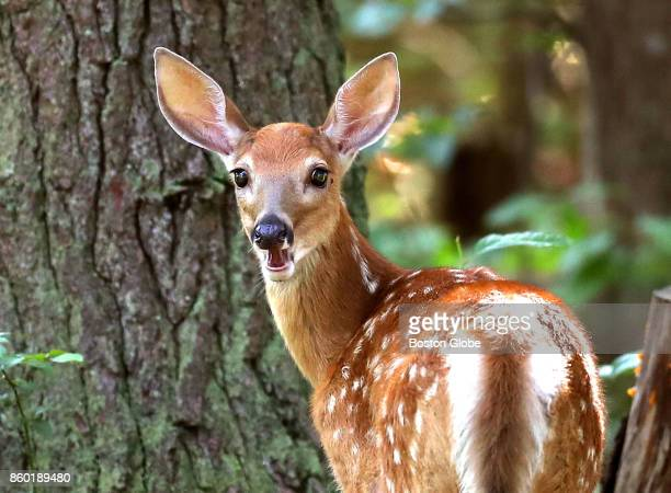 A whitetail fawn looks back as it grazes on weeds in a yard in Pembroke MA on Jul 26 2017