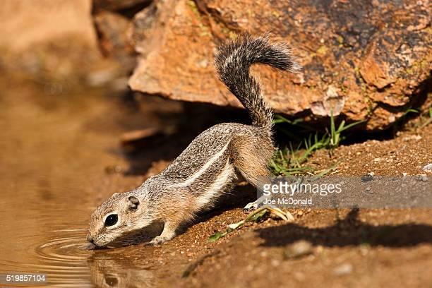 White-tailed Antelope Squirrel, Ammospermophilus leucurus, USA, Arizona