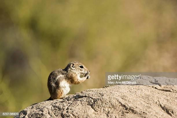 White-tailed Antelope Squirrel on rock