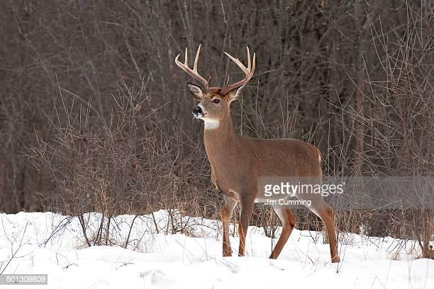 White-tailed buck deer